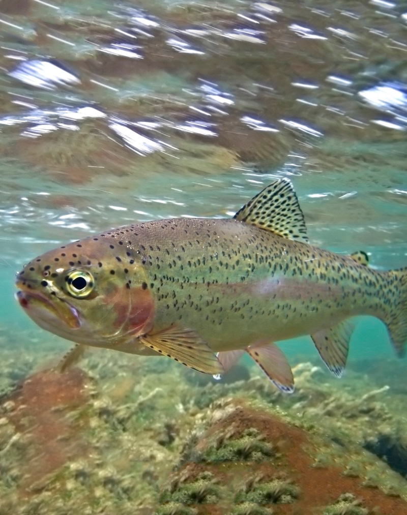 Save the Stan - Rainbow Trout